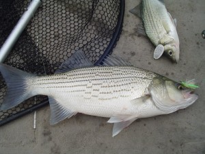 Eagle Mountain White Bass Hybrid Striper