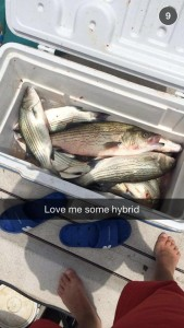 Skiatook Lake Hybrid Striper